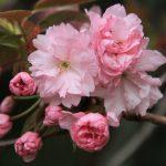 4月中旬が見頃!遅れて開花する美しい桜3選/桜湯の匂いは関山桜