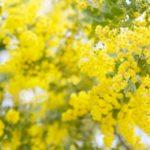 春の季節に楽しみたいミモザの香りは暖かな陽だまりのような雰囲気