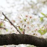桜の香りを体験したいなら大島桜(オオシマザクラ)に鼻を近づけてみよう